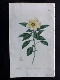 William Curtis 1819 Botanical Print. Venice-Mallow-Flowered Turnera 2106